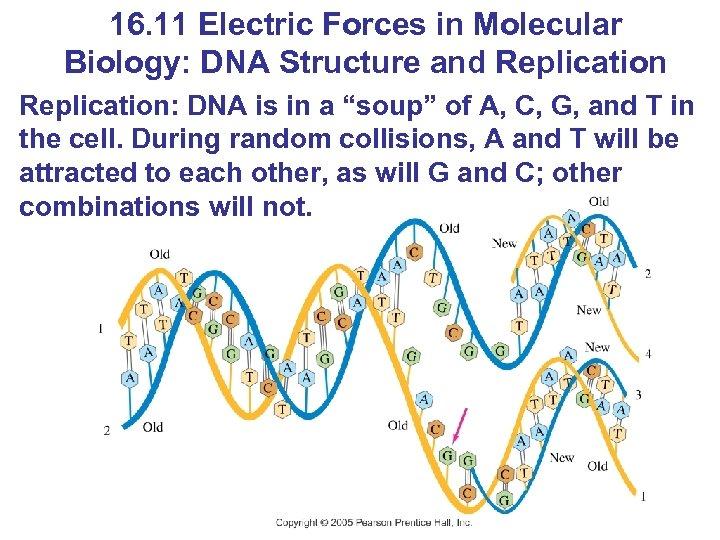 16. 11 Electric Forces in Molecular Biology: DNA Structure and Replication: DNA is in