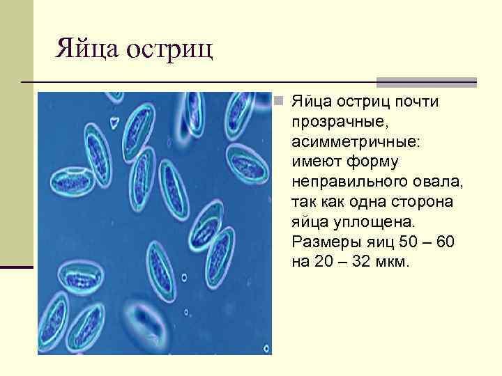 Яйца остриц n Яйца остриц почти прозрачные, асимметричные: имеют форму неправильного овала, так как