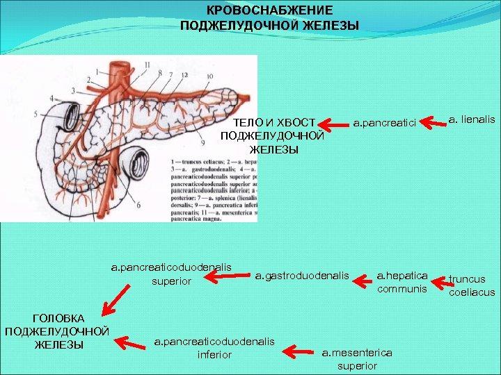 КРОВОСНАБЖЕНИЕ ПОДЖЕЛУДОЧНОЙ ЖЕЛЕЗЫ ТЕЛО И ХВОСТ ПОДЖЕЛУДОЧНОЙ ЖЕЛЕЗЫ a. pancreaticoduodenalis superior ГОЛОВКА ПОДЖЕЛУДОЧНОЙ ЖЕЛЕЗЫ
