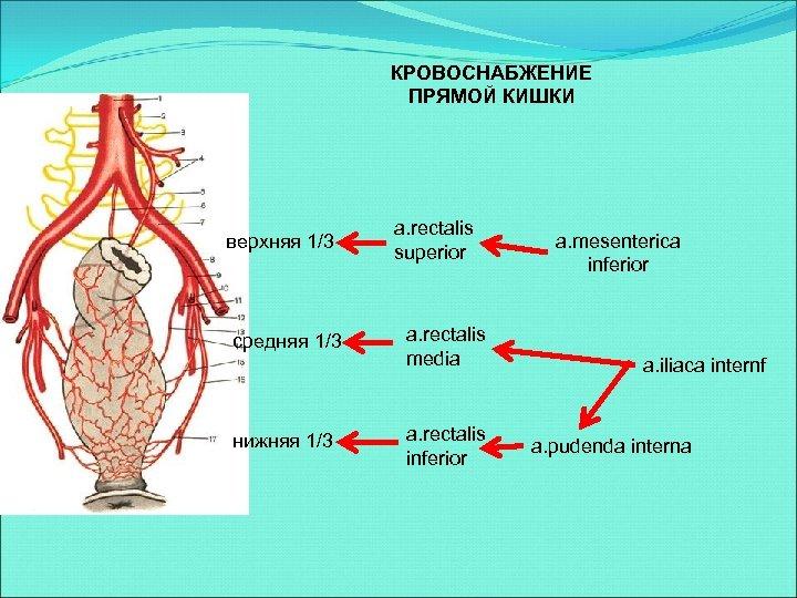 КРОВОСНАБЖЕНИЕ ПРЯМОЙ КИШКИ верхняя 1/3 средняя 1/3 нижняя 1/3 a. rectalis superior a. rectalis