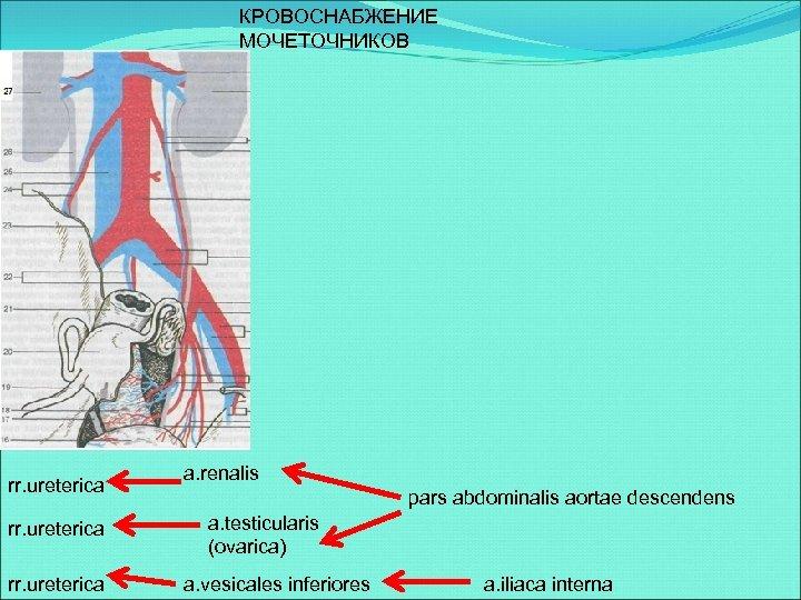 КРОВОСНАБЖЕНИЕ МОЧЕТОЧНИКОВ rr. ureterica a. renalis pars abdominalis aortae descendens a. testicularis (ovarica) a.