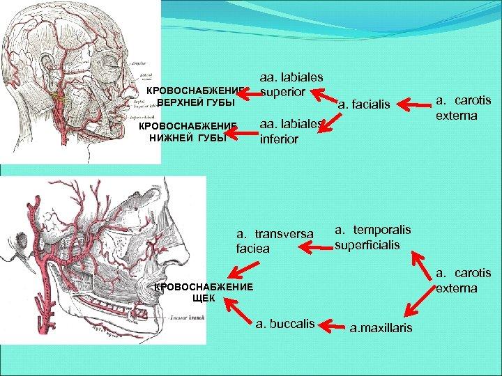 КРОВОСНАБЖЕНИЕ ВЕРХНЕЙ ГУБЫ КРОВОСНАБЖЕНИЕ НИЖНЕЙ ГУБЫ aa. labiales superior a. facialis aa. labiales inferior