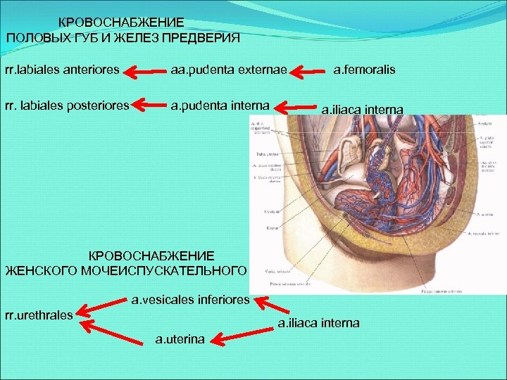 КРОВОСНАБЖЕНИЕ ПОЛОВЫХ ГУБ И ЖЕЛЕЗ ПРЕДВЕРИЯ rr. labiales anteriores aa. pudenta externae rr. labiales