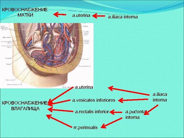 КРОВОСНАБЖЕНИЕ МАТКИ a. uterina a. iliaca interna a. uterina КРОВОСНАБЖЕНИЕ ВЛАГАЛИЩА a. iliaca interna