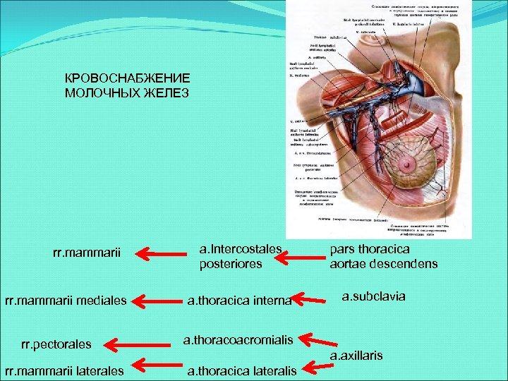 КРОВОСНАБЖЕНИЕ МОЛОЧНЫХ ЖЕЛЕЗ rr. mammarii mediales rr. pectorales rr. mammarii laterales a. Intercostales posteriores