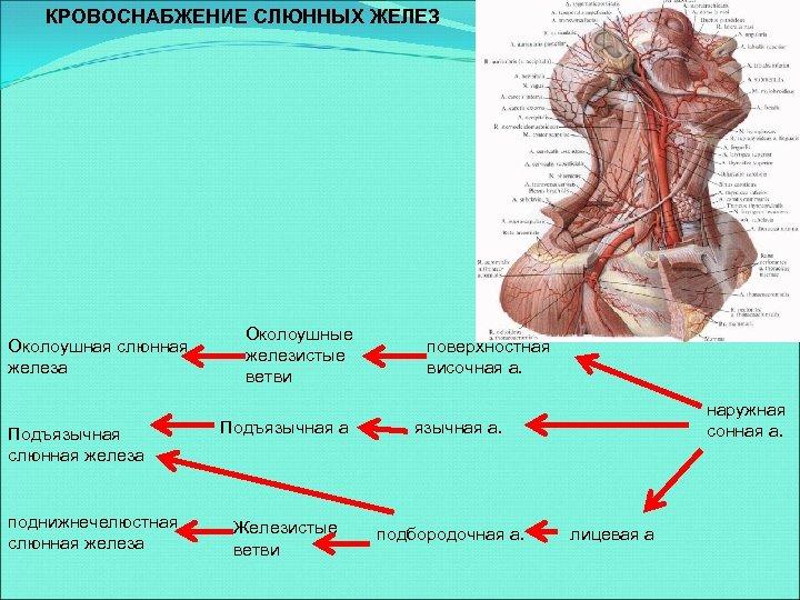 КРОВОСНАБЖЕНИЕ СЛЮННЫХ ЖЕЛЕЗ Околоушная слюнная железа Подъязычная слюнная железа поднижнечелюстная слюнная железа Околоушные железистые