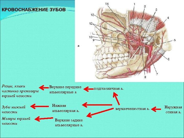 КРОВОСНАБЖЕНИЕ ЗУБОВ Резцы, клыки частично премоляры верхней челюсти Зубы нижней челюсти Моляры верхней челюсти