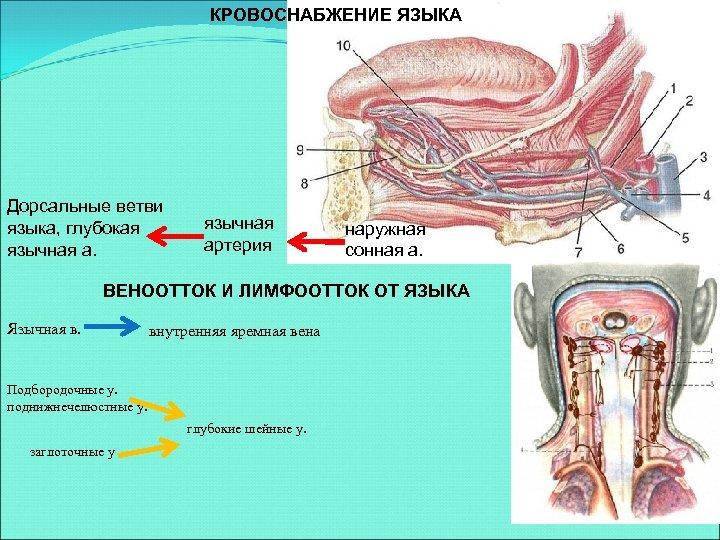 КРОВОСНАБЖЕНИЕ ЯЗЫКА Дорсальные ветви языка, глубокая язычная артерия наружная сонная а. ВЕНООТТОК И ЛИМФООТТОК
