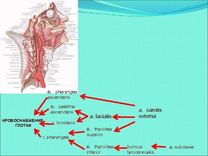 a. pharyngea ascendens a. palatina ascendens КРОВОСНАБЖЕНИЕ ГЛОТКИ a. facialis a. carotis externa r.