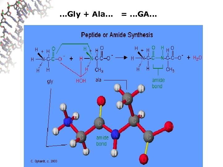 …Gly + Ala… = …GA…