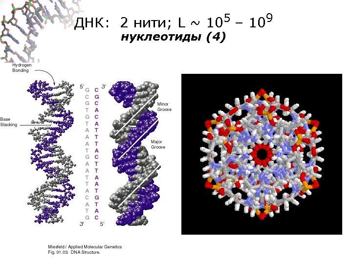 ДНК: 2 нити; L ~ 105 – 109 нуклеотиды (4)