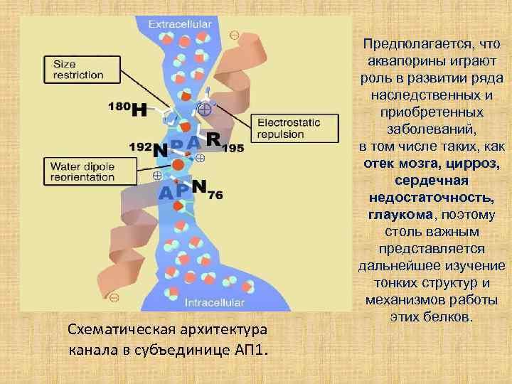 Схематическая архитектура канала в субъединице АП 1. Предполагается, что аквапорины играют роль в развитии