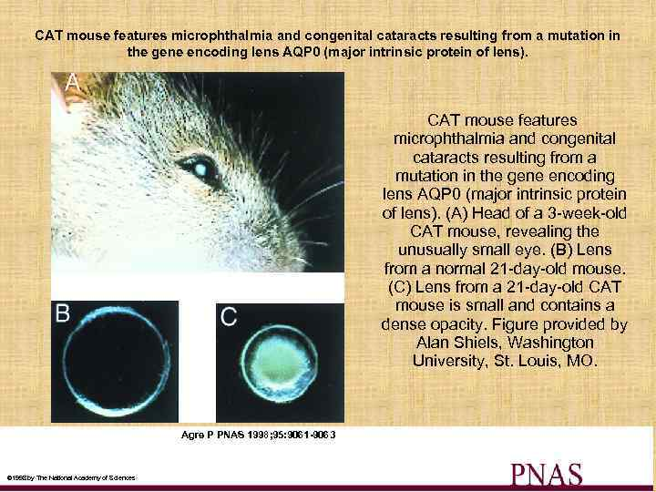 CAT mouse features microphthalmia and congenital cataracts resulting from a mutation in the gene