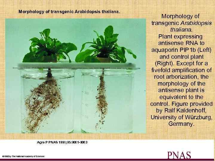 Morphology of transgenic Arabidopsis thaliana. Agre P PNAS 1998; 95: 9061 -9063 © 1998
