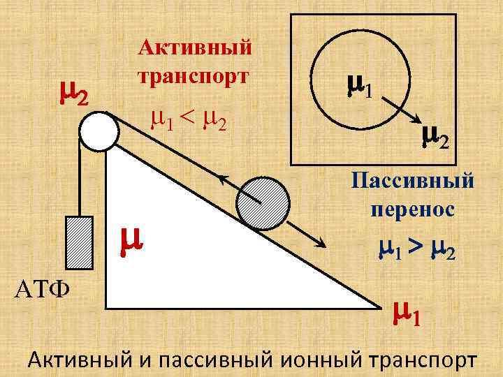 m 2 Активный транспорт m 1 < m 2 m АТФ m 1 m
