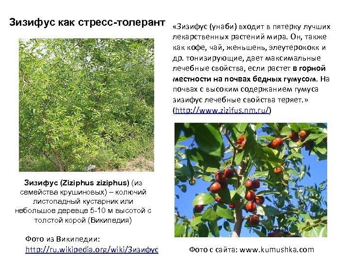 Зизифус как стресс-толерант «Зизифус (унаби) входит в пятерку лучших лекарственных растений мира. Он, также