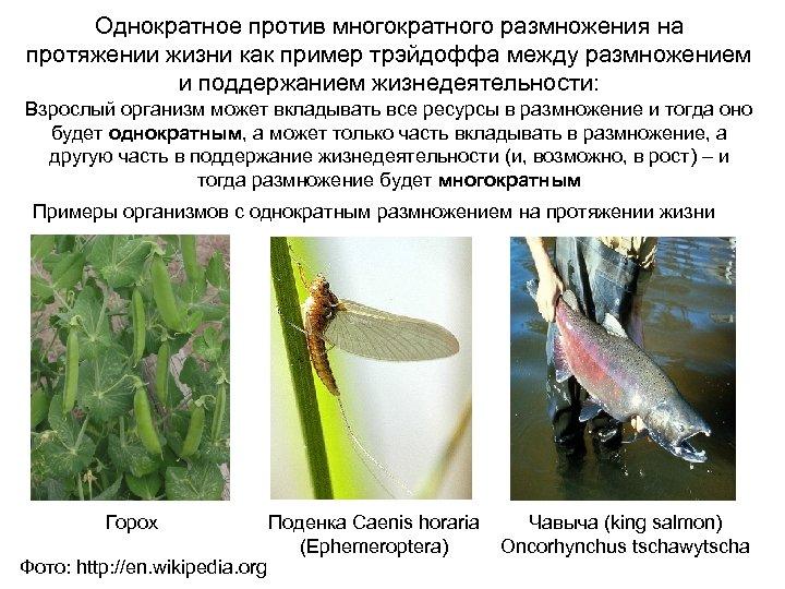 Однократное против многократного размножения на протяжении жизни как пример трэйдоффа между размножением и поддержанием