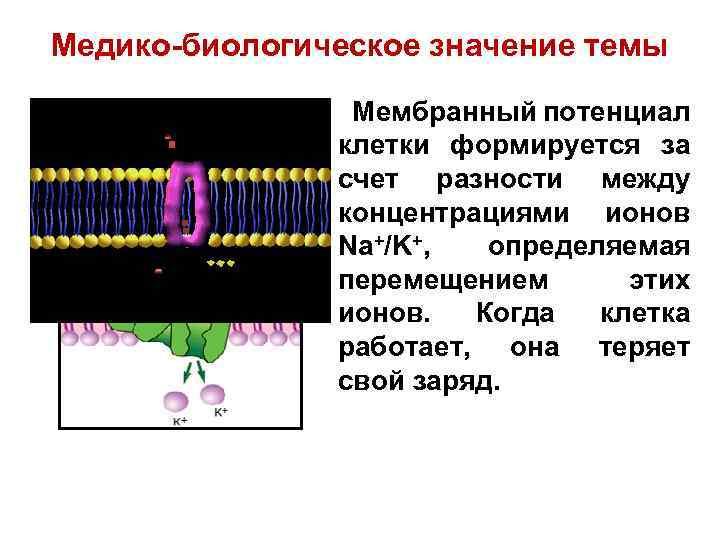 Медико-биологическое значение темы Мембранный потенциал клетки формируется за счет разности между концентрациями ионов Na+/K+,