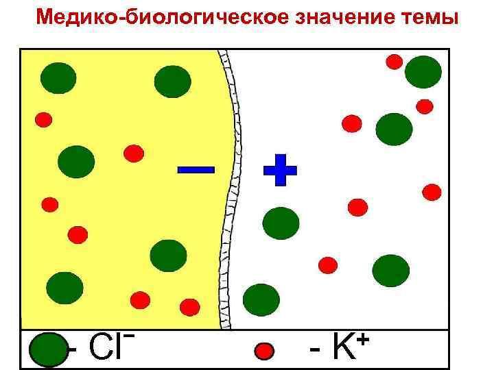 Медико-биологическое значение темы - Clˉ + - K