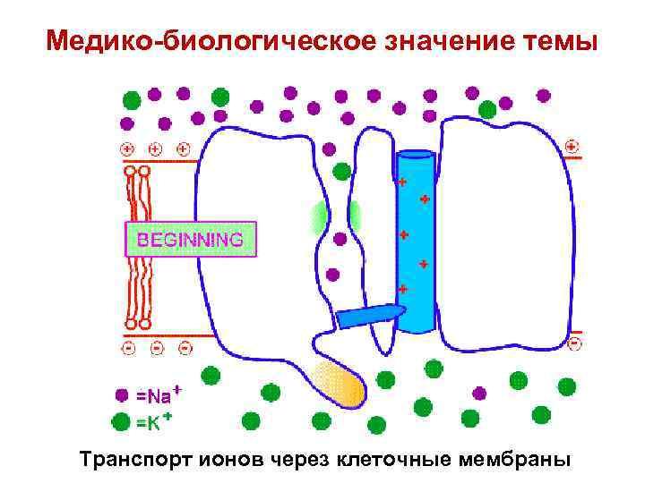 Медико-биологическое значение темы Транспорт ионов через клеточные мембраны