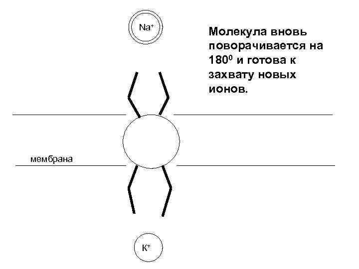 Na+ мембрана К+ Молекула вновь поворачивается на 1800 и готова к захвату новых ионов.