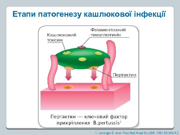 Етапи патогенезу кашлюкової інфекції 1. Leininger E, et al. Proc Natl Acad Sci USA.