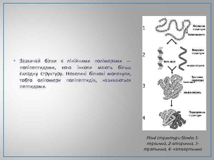 • Зазвичай білки є лінійними полімерами — поліпептидами, хоча інколи мають більш складну