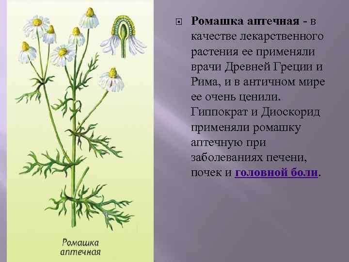 Ромашка аптечная - в качестве лекарственного растения ее применяли врачи Древней Греции и