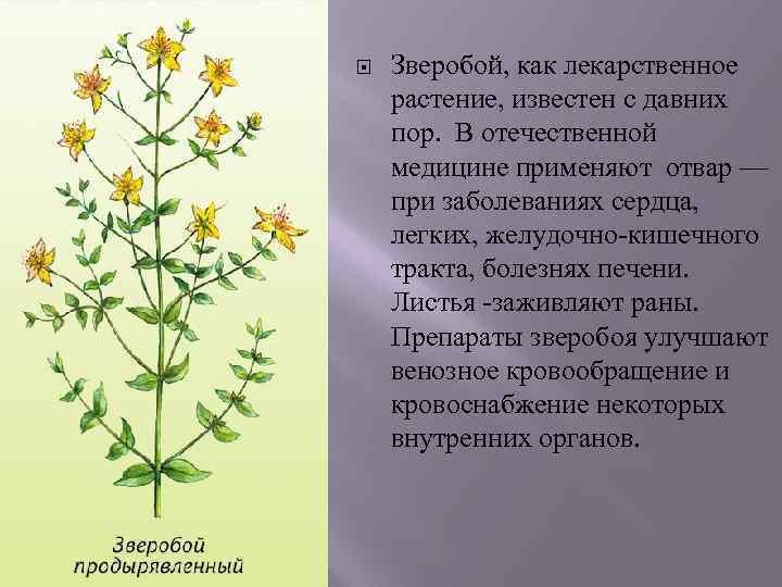 Зверобой, как лекарственное растение, известен с давних пор. В отечественной медицине применяют отвар