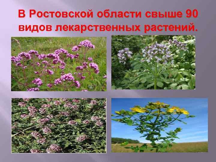 В Ростовской области свыше 90 видов лекарственных растений.