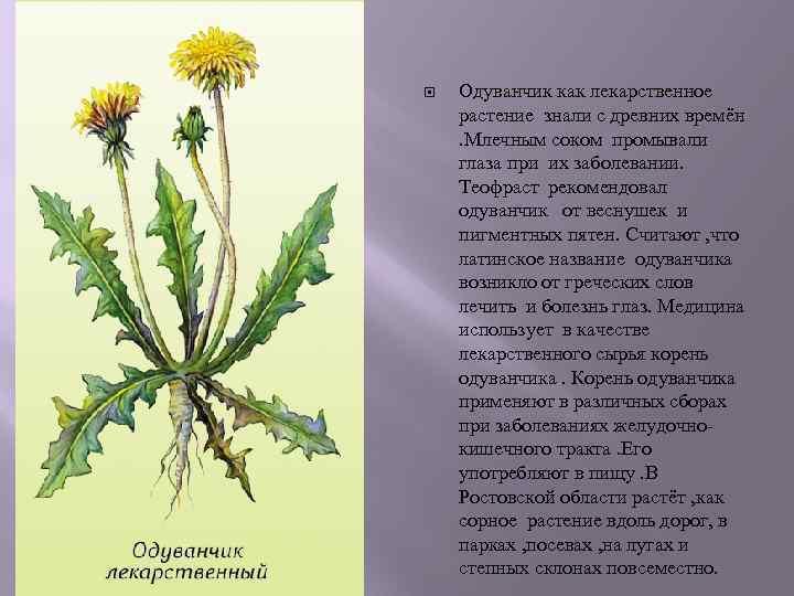 Одуванчик как лекарственное растение знали с древних времён . Млечным соком промывали глаза