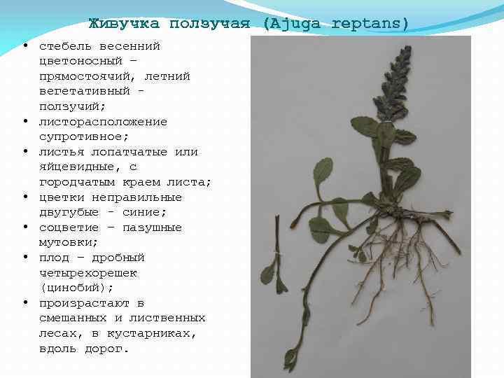Живучка ползучая (Ajuga reptans) • стебель весенний цветоносный – прямостоячий, летний вегетативный - ползучий;