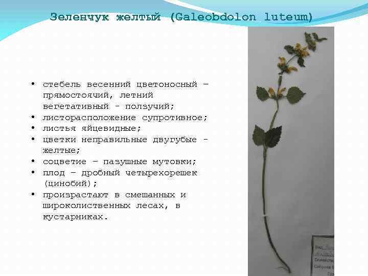 Зеленчук желтый (Galeobdolon luteum) • стебель весенний цветоносный – прямостоячий, летний вегетативный - ползучий;