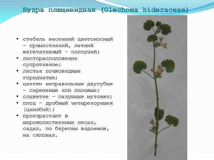 Будра плющевидная (Glechoma hideraceae) • стебель весенний цветоносный – прямостоячий, летний вегетативный - ползучий;