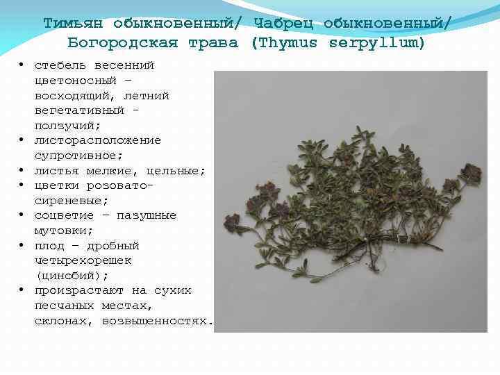 Тимьян обыкновенный/ Чабрец обыкновенный/ Богородская трава (Thymus serpyllum) • стебель весенний цветоносный – восходящий,