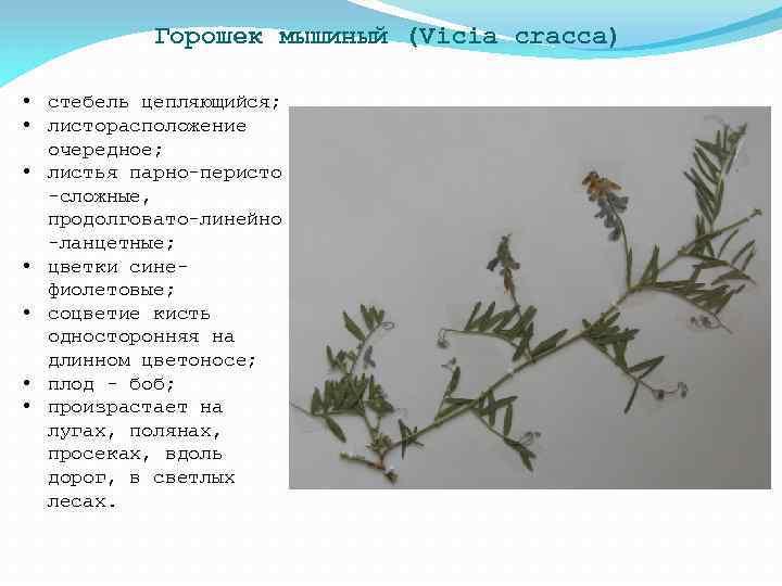 Горошек мышиный (Vicia cracca) • стебель цепляющийся; • листорасположение очередное; • листья парно-перисто -сложные,