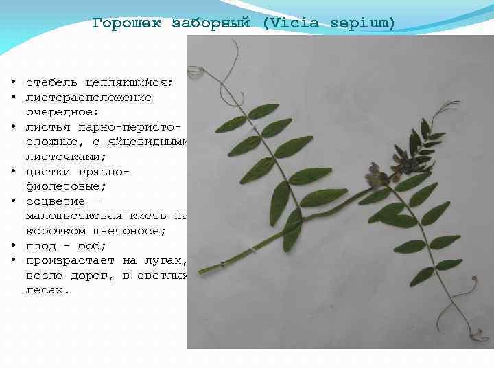 Горошек заборный (Vicia sepium) • стебель цепляющийся; • листорасположение очередное; • листья парно-перистосложные, с