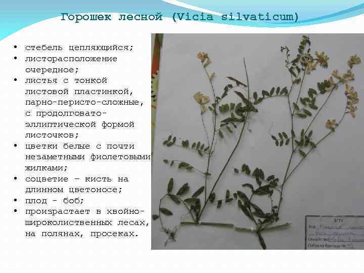 Горошек лесной (Vicia silvaticum) • стебель цепляющийся; • листорасположение очередное; • листья с тонкой