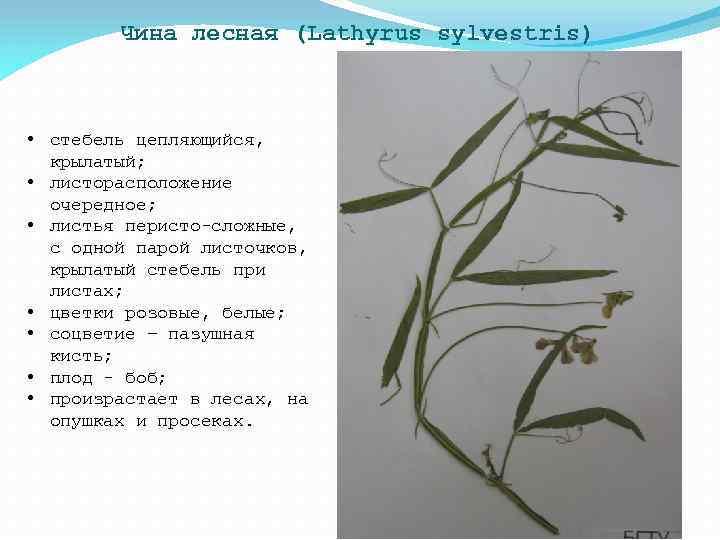 Чина лесная (Lathyrus sylvestris) • стебель цепляющийся, крылатый; • листорасположение очередное; • листья перисто-сложные,
