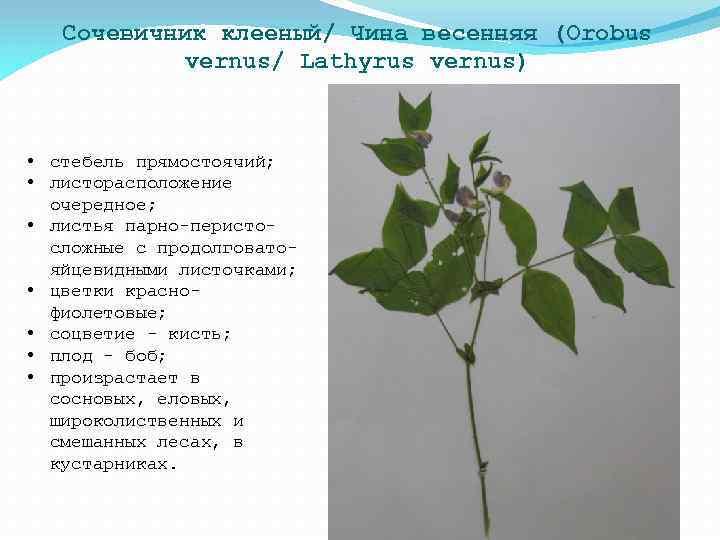 Сочевичник клееный/ Чина весенняя (Orobus vernus/ Lathyrus vernus) • стебель прямостоячий; • листорасположение очередное;