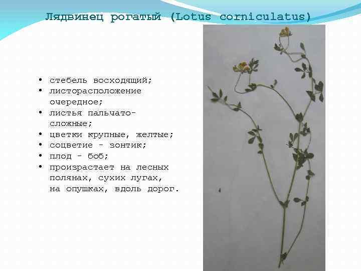 Лядвинец рогатый (Lotus corniculatus) • стебель восходящий; • листорасположение очередное; • листья пальчатосложные; •