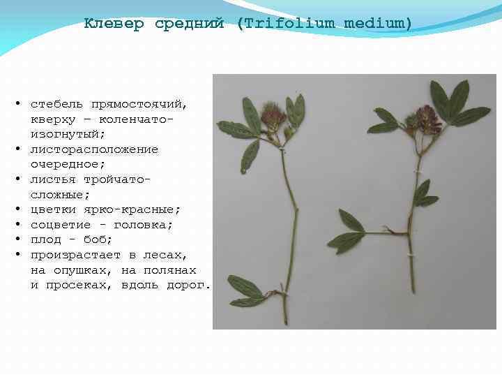 Клевер средний (Trifolium medium) • стебель прямостоячий, кверху – коленчатоизогнутый; • листорасположение очередное; •