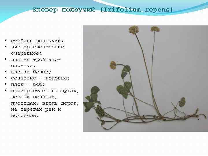 Клевер ползучий (Trifolium repens) • стебель ползучий; • листорасположение очередное; • листья тройчатосложные; •
