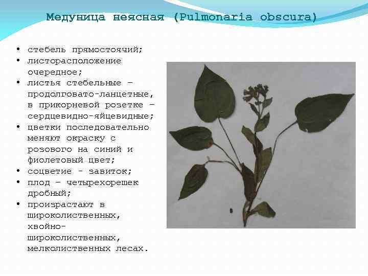 Медуница неясная (Pulmonaria obscura) • стебель прямостоячий; • листорасположение очередное; • листья стебельные –