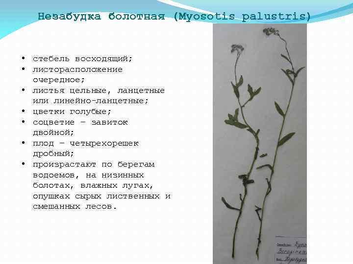 Незабудка болотная (Myosotis palustris) • стебель восходящий; • листорасположение очередное; • листья цельные, ланцетные
