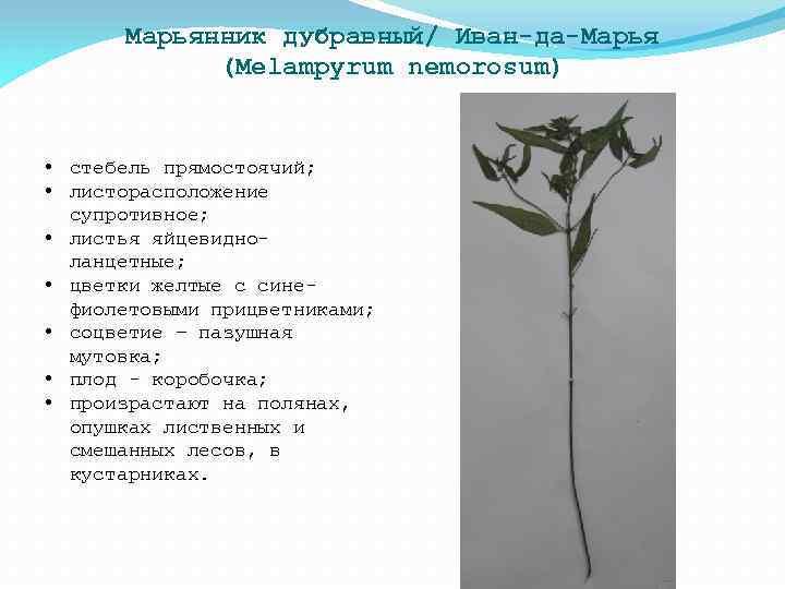 Марьянник дубравный/ Иван-да-Марья (Melampyrum nemorosum) • стебель прямостоячий; • листорасположение супротивное; • листья яйцевидноланцетные;