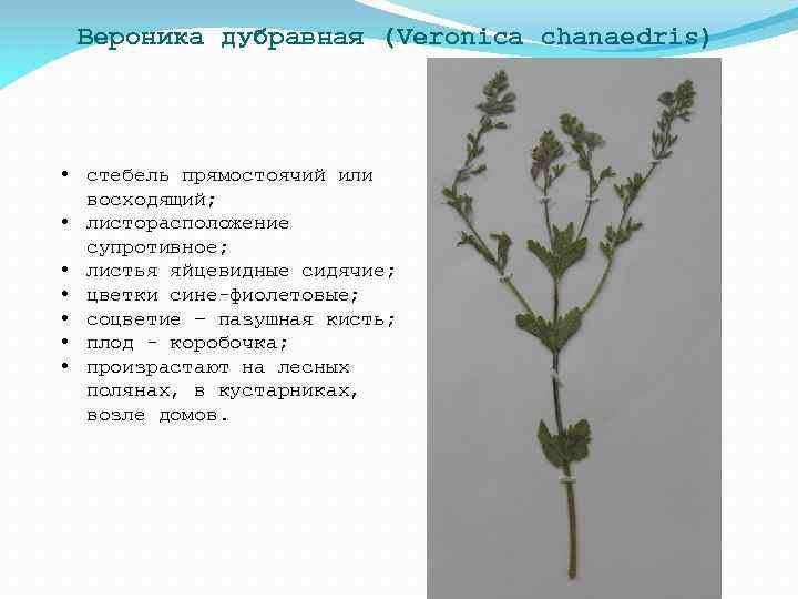 Вероника дубравная (Veronica chanaedris) • стебель прямостоячий или восходящий; • листорасположение супротивное; • листья