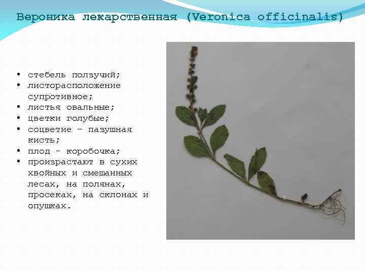 Вероника лекарственная (Veronica officinalis) • стебель ползучий; • листорасположение супротивное; • листья овальные; •