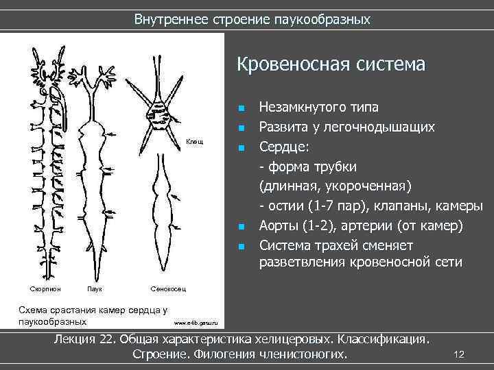Внутреннее строение паукообразных Кровеносная система n n Клещ n n n Скорпион Паук Незамкнутого