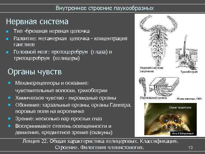 Внутреннее строение паукообразных Нервная система n n n Тип -брюшная нервная цепочка Развитие: метамерная